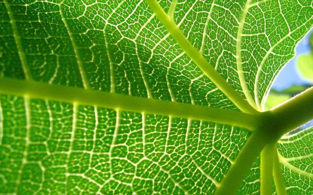 La feuille de papaye bio est un anticancer naturel