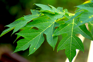 La feuille de papaye est anticancer puissant grâce à la papaïne
